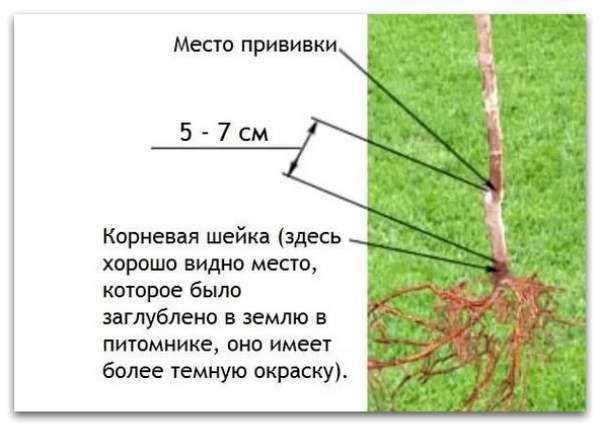 Учимся правильно сажать плодовые деревья – схема посадки и видео