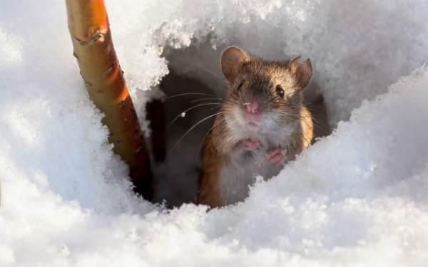 Яблони: что делать если мыши обгрызли кору?