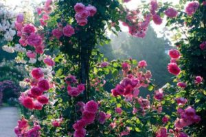 Плетистые сорта роз