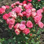 Бордюрные розы патио