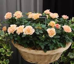 Миниатюрные розы 2