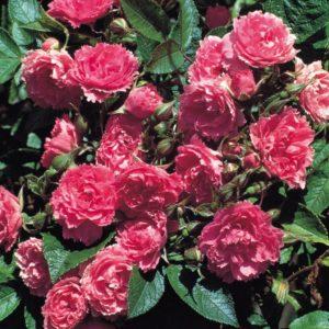 фото парковой розы
