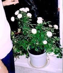 Полив мини роз