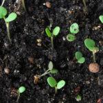 Размножение роз семенами