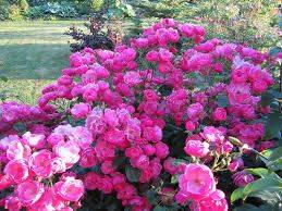 Шрабы, розы