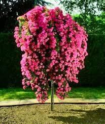 Штамбовая роза 2