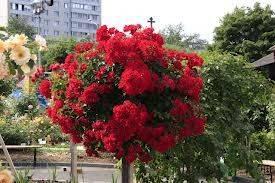 Штамбовая роза 3