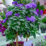 красивый цветок гелиотроп