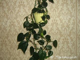 теневыносливое растение филодендрон лазящий