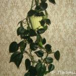 Фалодендрон - тенелюбивое растение