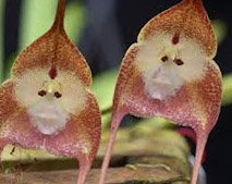 фото Обезьянья орхидея