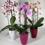 Орхидеи фаленопсис для рыб