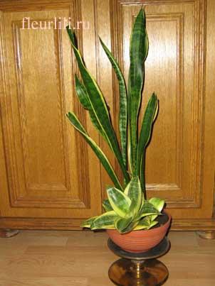теневыносливое растение саньсевьера