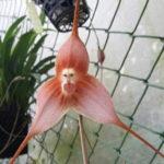 Ятрышник - обезьянья орхидея
