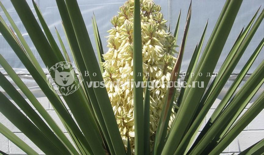 Цветы юкка: выращивание в домашних условиях, фото