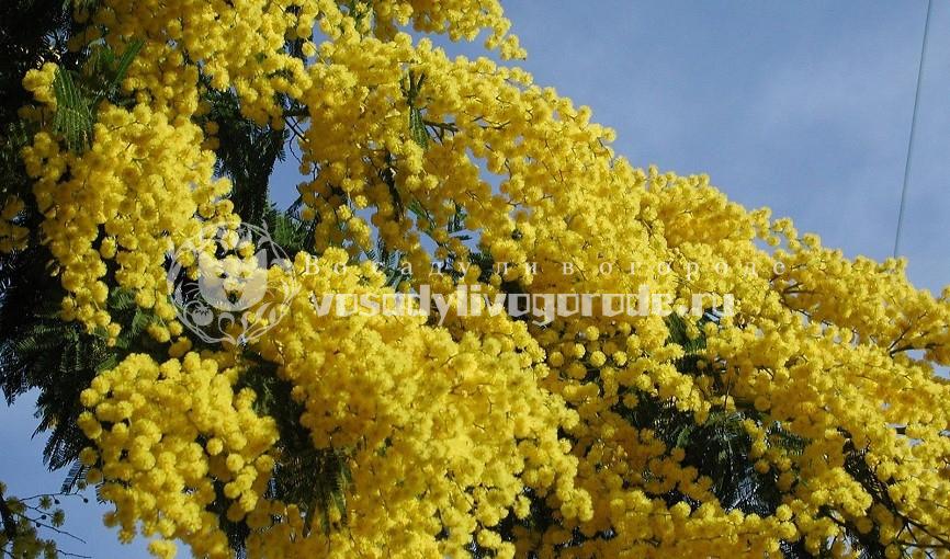 Как выглядит мимоза и цветок на фото