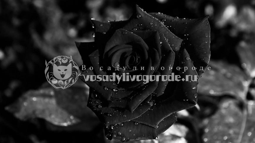 Какого цвета бывают розы, и какое значение имеет каждый цвет