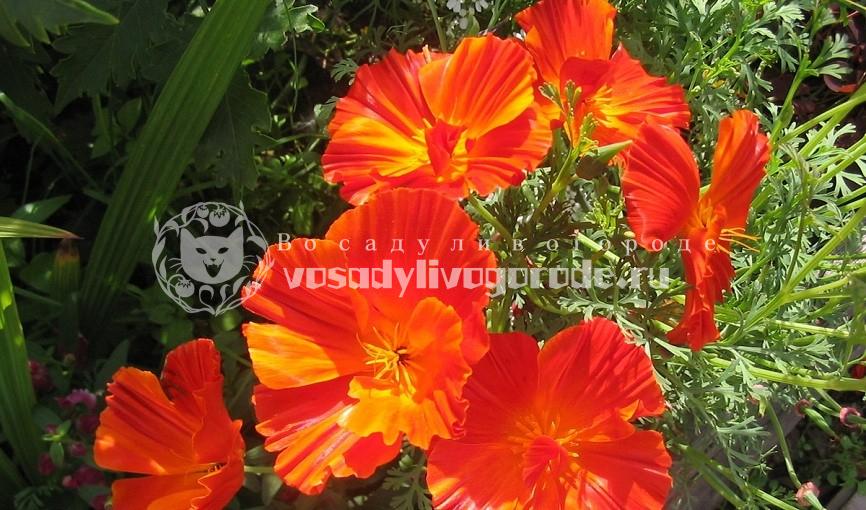 Выращивание эшшольции из семян: фото цветов, когда сажать