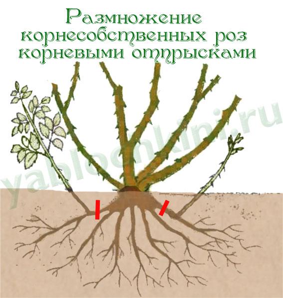Размножение роз корневыми отпрысками