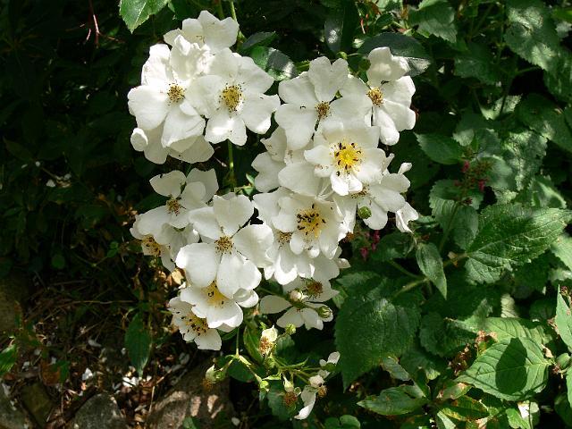 Роза Вихура 2