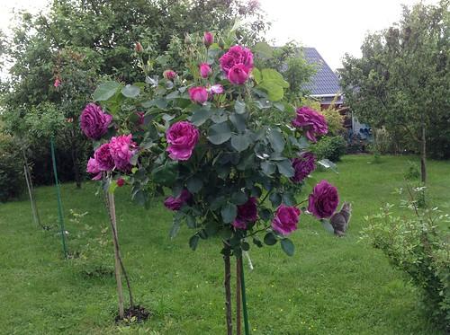 Штамбовая роза 4