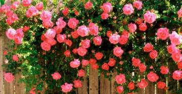 Плетистые розы фото 1