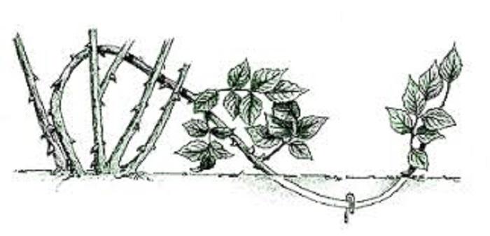 Размножение плетистых роз отводками