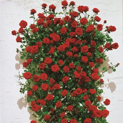 Плетистые розы Сантана