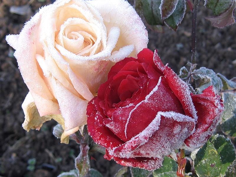 Зимняя прививка роз