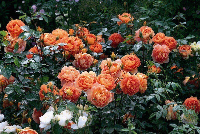 Пэт Остин роза
