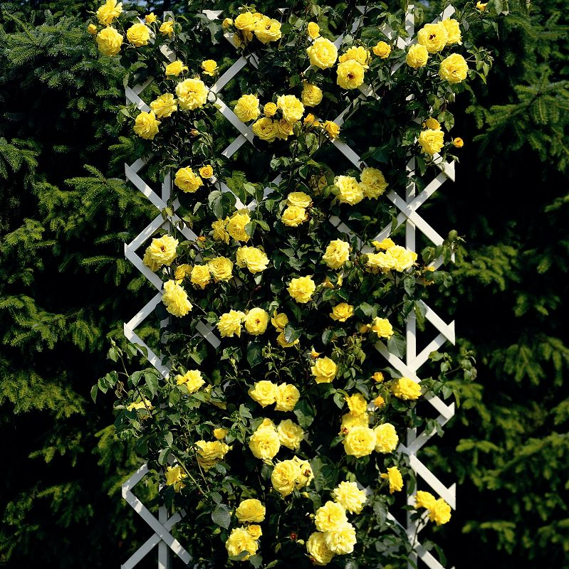 Плетистые розы Голден Парфюм