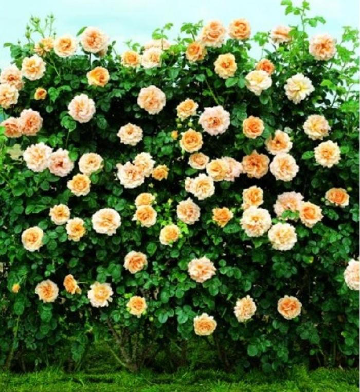 Плетистые розы Полька