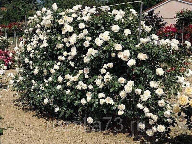 Клаймбинг розы