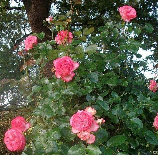 Плетистые розы Антик