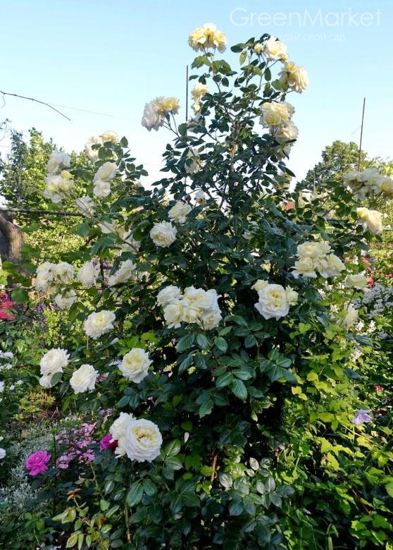 Плетистые розы Эльф