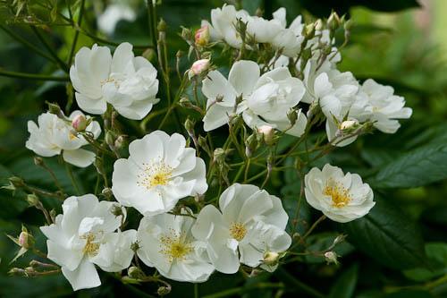 роза Вихуры