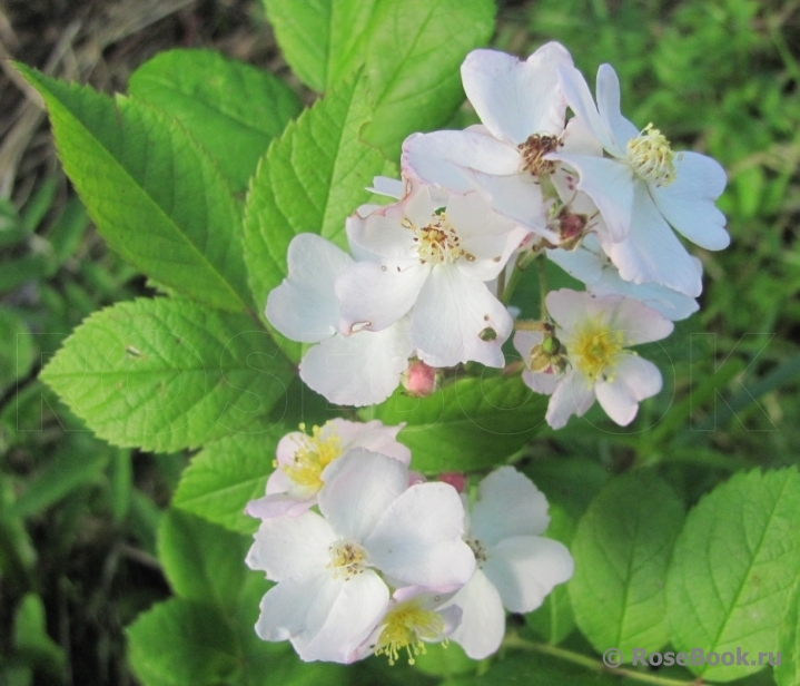 (Rosa multiflora