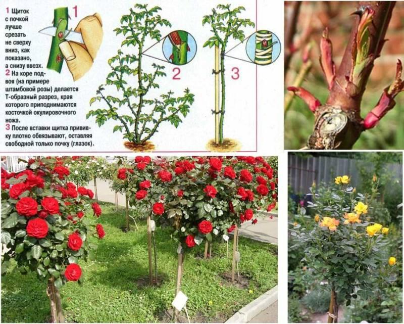 Прививка штамбовой розы