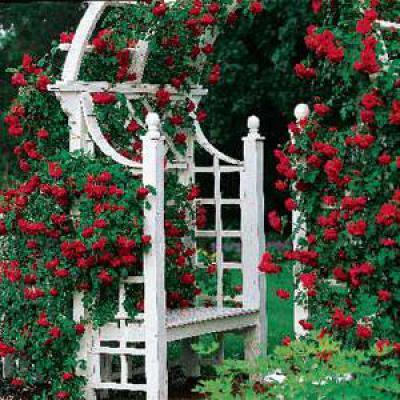 Плетистые розы Дон Жуан