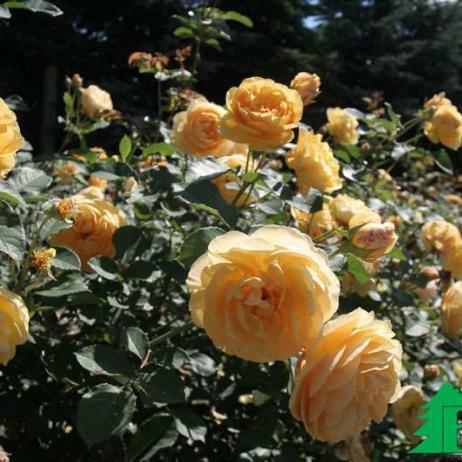Грэхем Томас роза