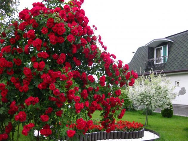 Плетистые розы Симпатия