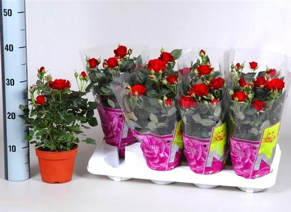 Бордюрные розы в горшках