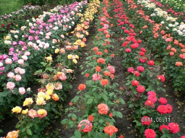 Питомник полиантовые розы