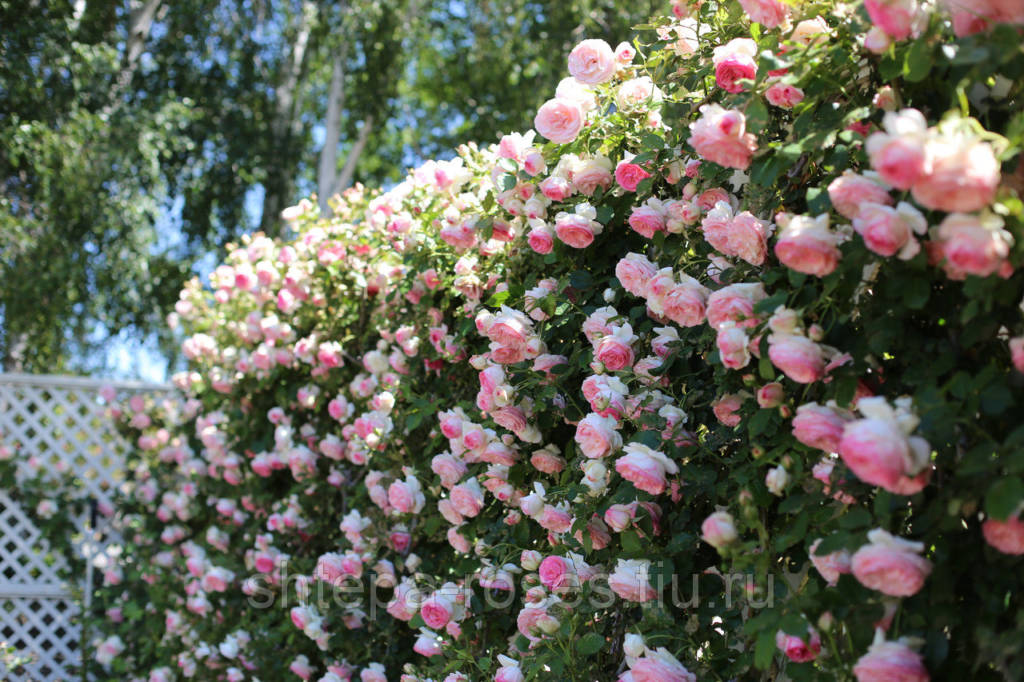 Плетистые розы Пьер Де Ронсар