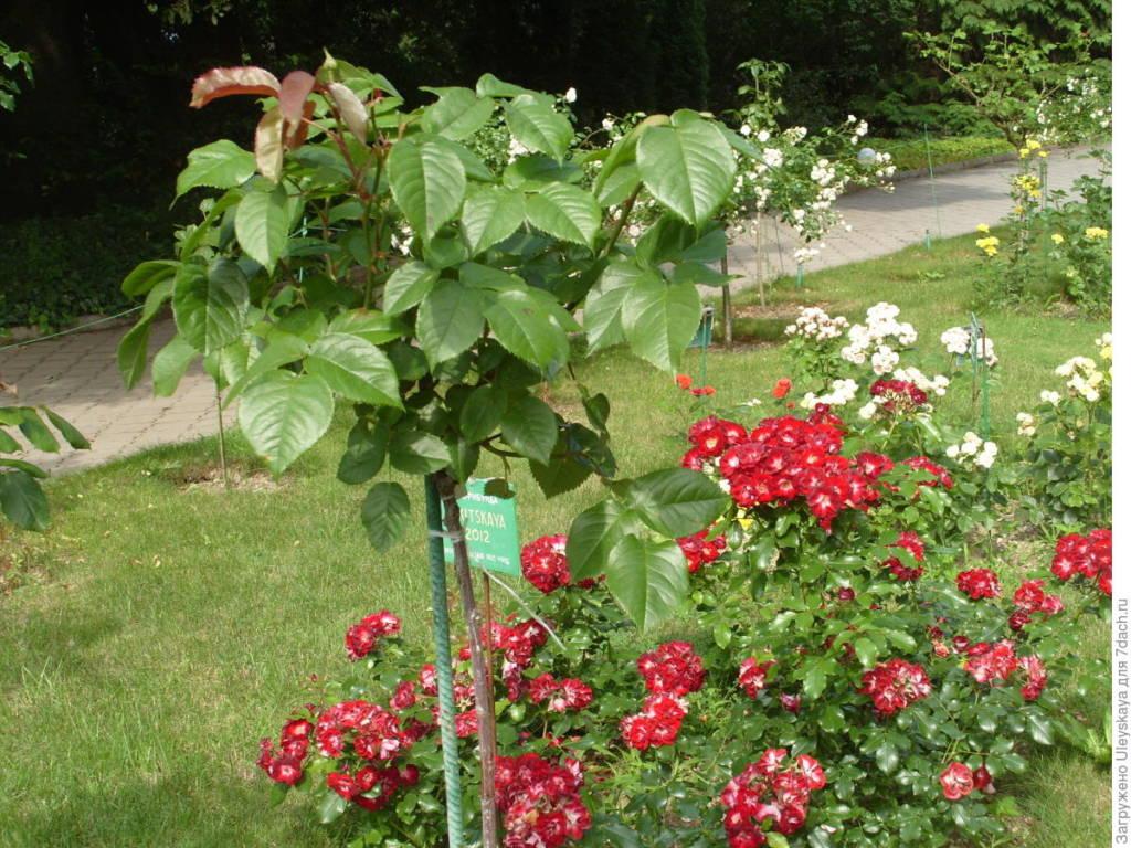Молодой куст штамбовой розы