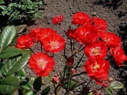Полиантовые розы из семян, сорта, фото, уход