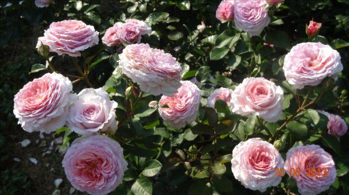 Джеймс Гэлвей роза