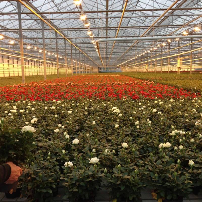 Розы в оранжерее