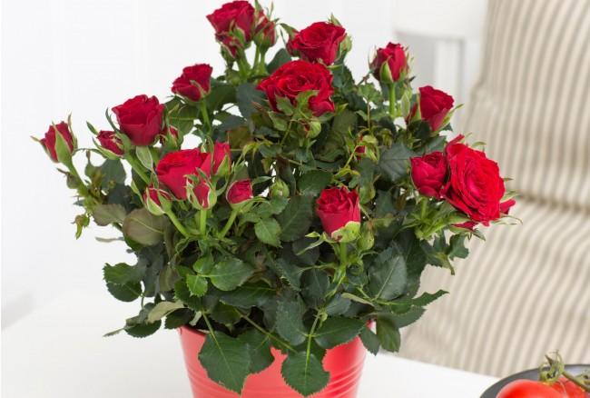 Комнатная мини роза