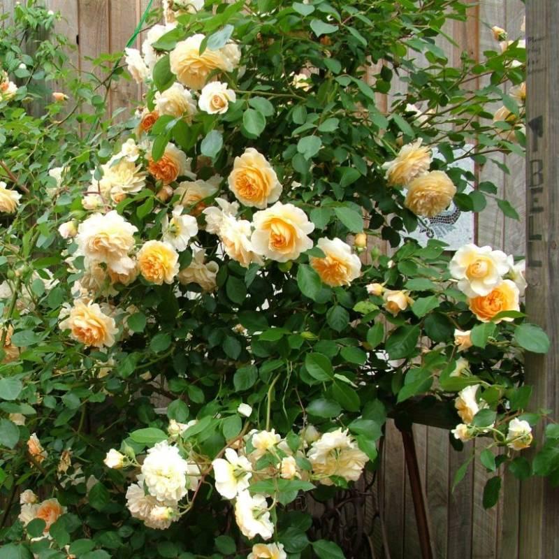 Пегасус роза